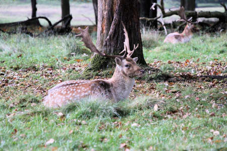 A view of a Fallow Deer Stag