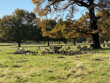 A view of Richmond Park Showing Red and Fallow Deer