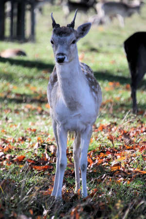 A close up of a Fallow Deer