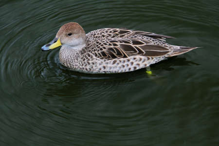 A view of a Duck at Martin Mere Nature Reserve