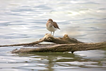 miry: Common sandpiper (Actitis hypoleucos) is a small Palearctic wader.