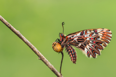 festoon: Southern festoon (Zerynthia polyxena) butterfly