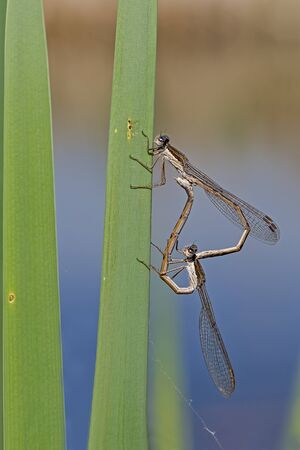 mating: Mating pair of common winter damselflies