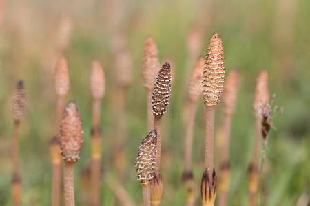 Equisetum arvense, the field horsetail or common horsetail
