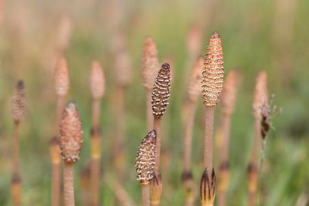 equisetum: Equisetum arvense, the field horsetail or common horsetail