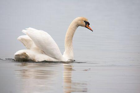 Mute swan (Cygnus olor) against blue water