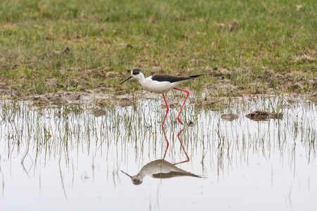 freshwater bird: Black-winged stilt, also called common stilt, cientific name Himantopus Himantopus.