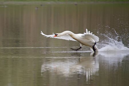 mute swan: Mute swan take-off from the lake Stock Photo