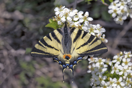 woodlands: The Scarce Swallowtail (Iphiclides podalirius) is a Palearctic swallowtail butterfly found in gardens, fields and open woodlands