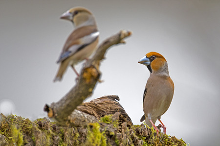 passerine: Pair of Hawfinch (Coccothraustes coccothraustes) is a passerine bird in the finch family Fringillidae.