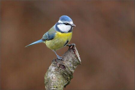 cyanistes: Eurasian blue tit (Cyanistes caeruleus) is a small passerine bird in the tit family Paridae. Stock Photo