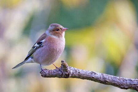 passerine: Common chaffinch (Fringilla coelebs), usually known simply as the chaffinch, is a common and widespread small passerine bird in the finch family. Stock Photo