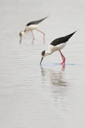 himantopus: Two Black-winged stilt, also called common stilt, cientific name Himantopus Himantopus, in search of food in the pond Stock Photo