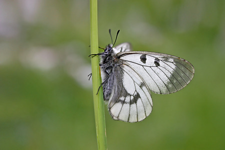 clouded: Clouded Apollo (Parnassius mnemosyne) is a butterfly species of the family of Swallowtail butterflies (Papilionidae) Stock Photo