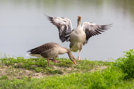 Pair of Greylag Goose (Anser-anser) on the embankment.
