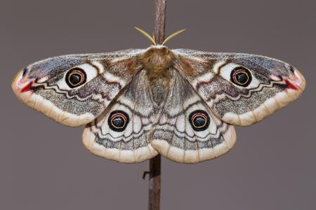 emperor: Small Emperor Moth (Saturnia pavonia)
