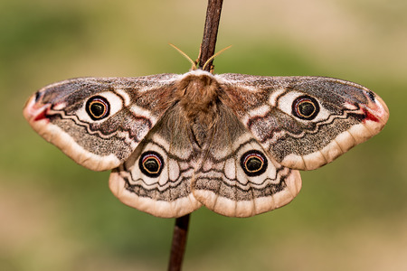 Small Emperor Moth (Saturnia pavonia)