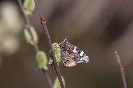 catkins: Red admiral (butterfly) on catkins on a willow