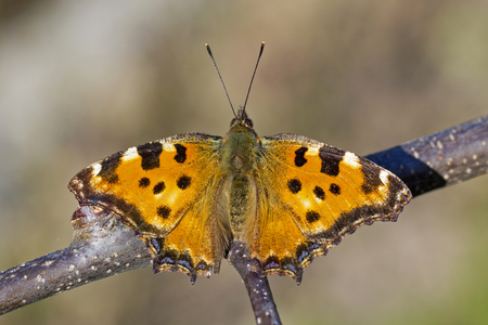 nymphalis: Butterfly Large tortoiseshell (Nymphalis polychloros) Stock Photo