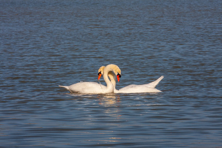 courtship: Mute swans in courtship ritual