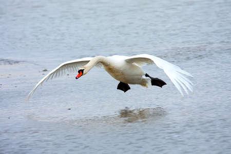 Mute swan landing on water Stock Photo