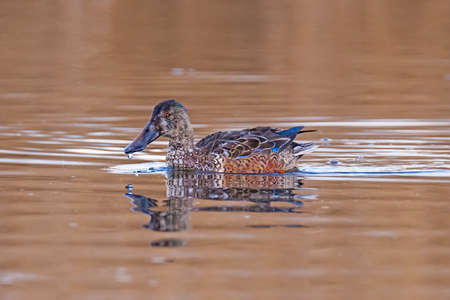 northern shoveler duck: Northern shoveler, or northern shoveller, sometimes known simply as the shoveller, is a common and widespread duck. Stock Photo