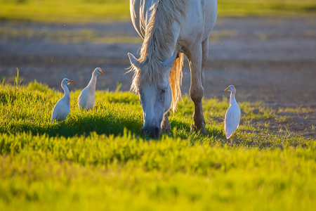 White camargue horse and three cattle egret (Bubulcus ibis) in the lagoon.