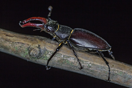 Lucanus cervus is the best-known species of stag beetle (family Lucanidae) in Western Europe, and is sometimes referred to simply as the stag beetle.