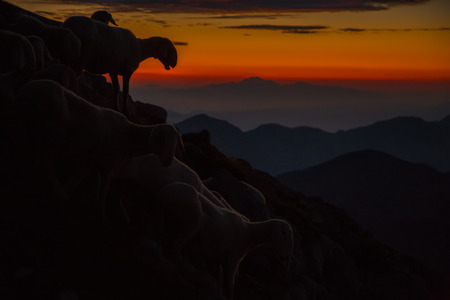 Sheep in the rising sun on mountain Krn on foggy morning.