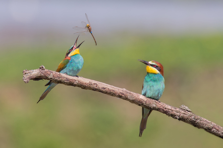 Pair of Beautiful European Bee-eaters (Merops apiaster) with dragonfly Stock Photo