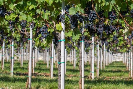 Vineyard with ripe red grapes Refosko