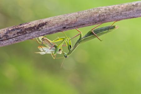 Praying mantis - female after mating eat male