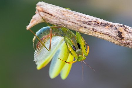 Praying mantis on the branch in defensive position Stock Photo