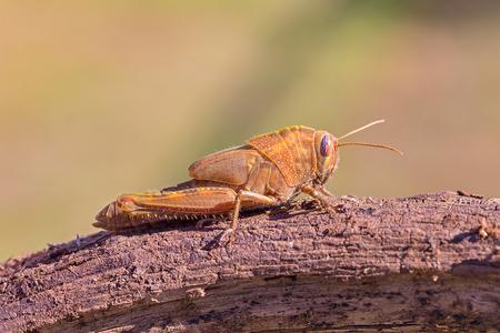 Nymph of Egyptian Grasshopper Anacridium aegyptium