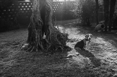 Beagle Elisabeth next to the centenary olive branch Banque d'images