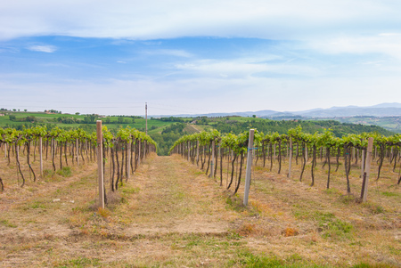 Rows of a cultivation of wine grapes with hills on the horizon