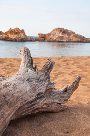 Old tree trunkon the sand beach in the north of Menorca island