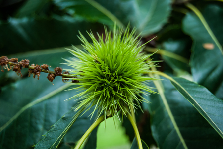 One fresh green chestnut hedgehog with flowers on the tree