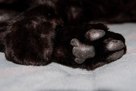 Foreground of two paws of a domestic black cat photographed while he is sleeping