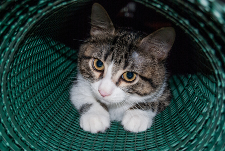 Foreground a white and striped young cat while he is playing with a green net tube Banco de Imagens