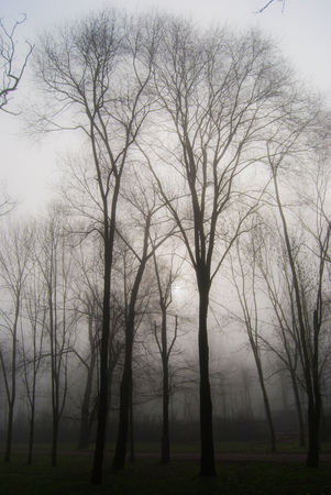 High trees without leaves during a foggy day Stock Photo