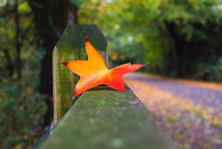 Foreground of orange leaf of Acer