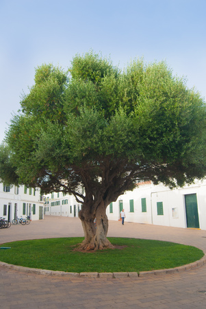 Square with Olea europaea in Fornells town of the Balearic islands in Spain Фото со стока