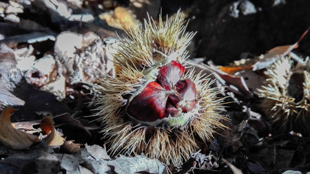 One open chestnut hedgehog  with many seeds inside fell to the ground Banco de Imagens