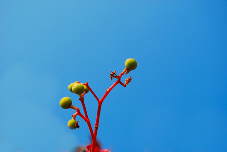 Unripe seeds of Sambucus in the blue sky
