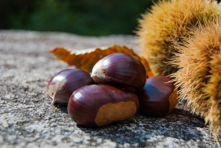 Ripe chestnuts and hedgehogs on the granitic rock