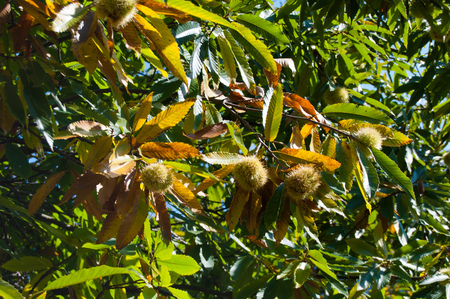 Many hedgehogs of fresh and ready chestnuts still attached to the tree Banco de Imagens
