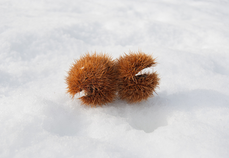 Couple of open chestnut hedgehogs on the snowy ground