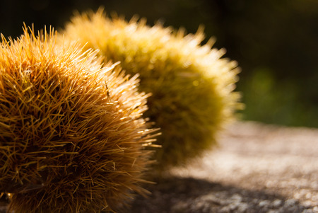 Two chestnut hedgehogs on the ground illuminated by the sun