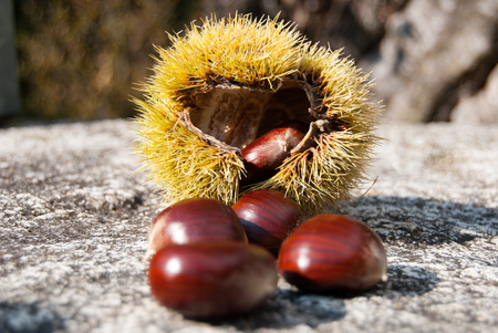 Ripe chestnuts and hedgehogs on the granitic rock in a sunny day Imagens